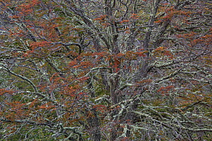 Beech (Fagus sp) trees in autumn. Torres del Paine National Park, Patagonia, Chile. April.  -  Ingo Arndt