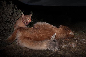 Puma (Puma concolor) feeding on Guanaco (Lama guanicoe) carcass at night. Torres del Paine, Patagonia, Chile. August. - Ingo Arndt