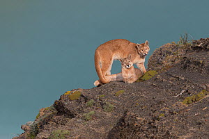 Puma (Puma concolor) females, two sisters on rock. Torres del Paine, Patagonia, Chile. April.  -  Ingo Arndt