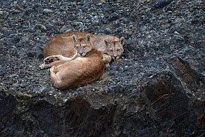 Puma (Puma concolor) females, two sisters lying down. Torres del Paine, Patagonia, Chile. March.  -  Ingo Arndt