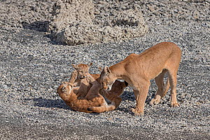 Puma (Puma concolor) female and two playing cubs. Torres del Paine, Patagonia, Chile. January. - Ingo Arndt
