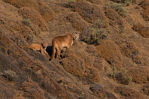 Puma (Puma concolor) female with young cub, on slope amongst scrub. Torres del Paine, Patagonia, Chile. July. - Ingo Arndt