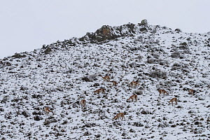Guanaco (Lama guanicoe) herd feeding after snow storm. Torres del Paine National Park, Patagonia, Chile. August 2018. - Ingo Arndt