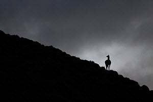 Guanaco (Lama guanicoe) silhouetted on hillside beneath stormy sky. Torres del Paine National Park, Patagonia, Chile. July. - Ingo Arndt