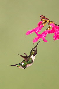 White-bellied woodstar (Chaetocercus mulsant) hummingbird nectaring on flower. Ecuador. October.  -  Ingo Arndt