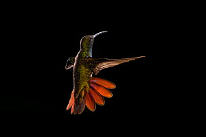 Green-breasted mango hummingbird (Anthracothorax prevostii) male in flight. Costa Rica.  -  Ingo Arndt