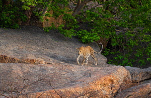 Indian leopard ( Panthera pardus fusca) female at dawn after hunting at night, Rajasthan, India  -  Yashpal Rathore
