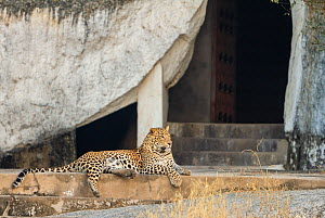 Indian leopard (Panthera pardus fusca) male resting on steps of temple at dawn, Rajasthan, India  -  Yashpal Rathore
