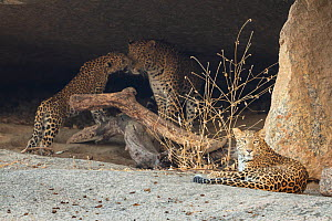 Indian leopard (Panthera pardus fusca) female resting, with male and cubs interacting near its rocky cave in hillock situated close to human settlement, Rajasthan, India  -  Yashpal Rathore