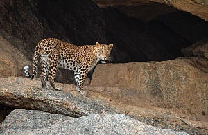 Indian Leopard (Panthera pardus fusca) male near its rocky cave in hillock situated close to human settlement, Rajasthan, India  -  Yashpal Rathore