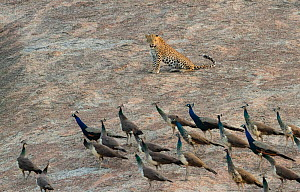 Indian leopard ( Panthera pardus fusca) male resting, with peafowl flock walking by. Rajasthan, India  -  Yashpal Rathore