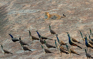 Indian leopard ( Panthera pardus fusca) male resting, with wary peafowl flock. Rajasthan, India  -  Yashpal Rathore