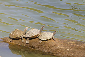 Assam Roofed Turtle (Pangshura sylhetensis) basking, endangered species, Kaziranga National Park, India  -  Yashpal Rathore