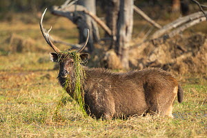 Sambar (Cervus unicolor) stag feeding on water weeds, Ranthambore National Park, India - Yashpal Rathore