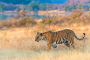 Bengal Tiger (Panthera tigris) 'Arrowhead' patrolling his territory, Ranthambore National Park, India.  -  Yashpal Rathore