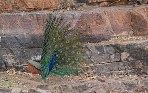 Indian peafowl (Pavo cristatus) male displaying to female, Ranthambore National Park, India.  -  Yashpal Rathore