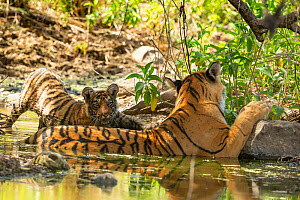 Bengal Tiger (Panthera tigris), 'Arrowhead' and cub cooling off in water, Ranthambore National Park, India  -  Yashpal Rathore