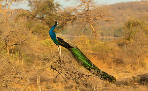 Peafowl (Pavo cristatus) Male calling perched on dry tree, Rathambore National Park, India - Yashpal Rathore