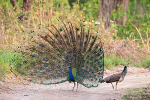 Indian peafowl (Pavo cristatus) male performing mating display by spreading his feathers, Jim Corbett National Park, India. - Yashpal Rathore