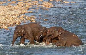 Asian elephant (Elephas maximus) young ones engaged in playful activity while Crossing River, Jim Corbett National Park, India - Yashpal Rathore