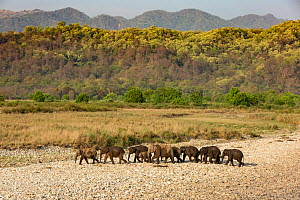 Asian elephant (Elephas maximus) herd passing through river bed after drinking and bathing in river, Jim Corbett National Park, India - Yashpal Rathore