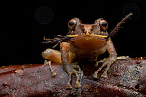 Labiated rainfrog (Pristimantis labiosus) feeding on spider prey, Mashpi, Pichincha, Ecuador - Lucas Bustamante