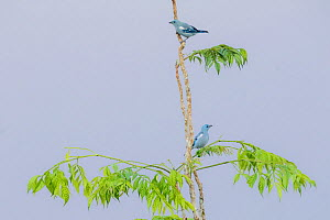 Blue-Grey Tanagers (Thraupis episcopus). Yasuni National Park, Orellana, Ecuador  -  Lucas Bustamante