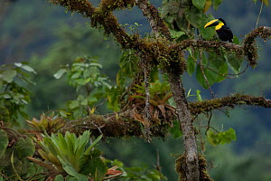 Choco Toucan (Ramphastos brevis) on a tree with epiphytes, Mashpi, Pichincha, Ecuador - Lucas Bustamante