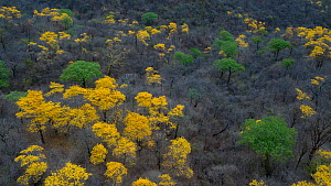 Yellow Ipe trees (Tabebuia chrysantha) blooming in South Ecuador. Mangahurco, Loja, Ecuador, - Lucas Bustamante