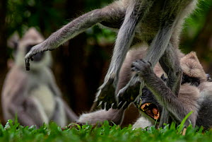 A group of Tufted Gray Langurs (Semnopithecus priam) fighting, Yala National Park, Southern Province, Sri Lanka - Lucas Bustamante