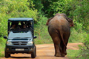 Sri Lankan elephant (Elephas maximus maximus) walking past tourist jeep with tourists, Yala National Park, Southern Province, Sri Lanka  -  Lucas Bustamante