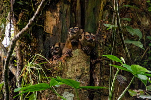 Spix's night monkeys (Aotus vociferans) in a tree hole, Yasuni National Park, Orellana, Ecuador - Lucas Bustamante