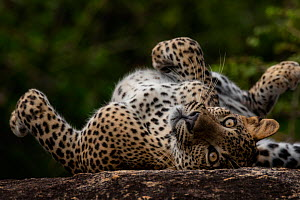 Sri Lankan leopard (Panthera pardus kotiya) rolling on its back, Yala National Park, Sri Lanka - Lucas Bustamante