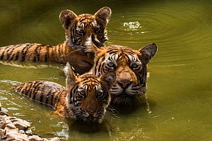 Bengal tiger (Panthera tigris) female and cubs swimming in pond. Ranthambore National Park, India.  -  Sandesh  Kadur