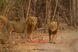Asiatic lion (Panthera leo persica), two males standing amongst petals at side of track. Gir National Park, Gujarat, India. Photo� Phillip Ross/Felis Images  -  Felis Images