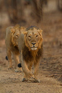 Asiatic lion (Panthera leo persica), two males walking one behind the other. Gir National Park, Gujarat, India. Photo� Phillip Ross/Felis Images  -  Felis Images