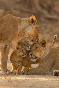 Asiatic lion (Panthera leo persica), two females and two cubs. Gir National Park, Gujarat, India. Photo� Phillip Ross/Felis Images  -  Felis Images