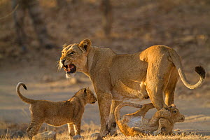 Asiatic lion (Panthera leo persica), female and cubs in morning light, cub biting mother's leg. Gir National Park, Gujarat, India. Photo� Phillip Ross/Felis Images  -  Felis Images