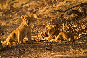 Asiatic lion (Panthera leo persica), two cubs in morning light. Gir National Park, Gujarat, India. Photo� Phillip Ross/Felis Images  -  Felis Images