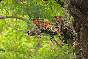 Indian leopard (Panthera pardus fusca), two resting in tree, legs dangling down. Nagarhole National Park, India. Photo� Phillip Ross/Felis Images  -  Felis Images