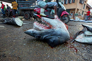 Short fin mako shark (Isurus oxyrinchus) head discarded on ground, fins were dispatched for export and remaining meat cubed for sale locally. Negombo Fish Market, Sri Lanka. 2017. Photo� Vydhehi Kadur... - Felis Images
