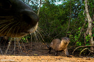 Smooth-coated otter (Lutrogale perspicillata), two at edge of forest. Otter walking, out of focus otter nose in foreground. Andhra Pradesh, India. Photo� Anjani Kumar/Felis Images - Felis Images