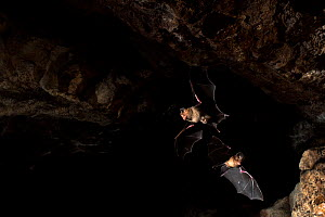 Schneider's leaf nosed bat (Hipposideros speoris), two flying in cave. Andhra Pradesh, India. Photo� Anjani Kumar/Felis Images  -  Felis Images