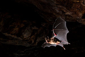 Schneider's leaf nosed bat (Hipposideros speoris) in flight in cave. Andhra Pradesh, India. Photo� Anjani Kumar/Felis Images  -  Felis Images