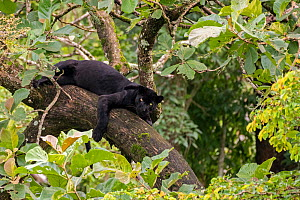 Melanistic leopard / Black panther (Panthera pardus fusca) resting in tree. Nagarhole National Park, India. Photo� Phillip Ross/Felis Images  -  Felis Images