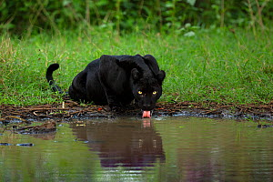 Melanistic leopard / Black panther (Panthera pardus fusca) drinking, reflected in water. Nagarhole National Park, India. Photo� Phillip Ross/Felis Images  -  Felis Images