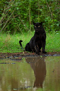 Melanistic leopard / Black panther (Panthera pardus fusca) sitting, reflected in water. Nagarhole National Park, India. Photo� Phillip Ross/Felis Images  -  Felis Images