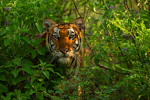 Bengal tiger (Panthera tigris) hidden amongst vegetation in jungle. Sathyamangalam, Tamil Nadu, India. Photo� Phillip Ross/Felis Images - Felis Images