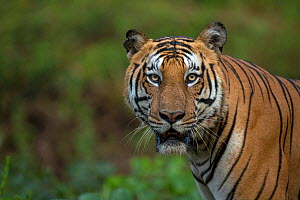 Bengal tiger (Panthera tigris) portrait. Nagarhole National Park, India. Photo� Phillip Ross/Felis Images - Felis Images