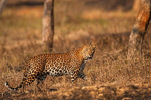 Indian leopard (Panthera pardus fusca). Bandipur National Park, India. Photo� Phillip Ross/Felis Images - Felis Images